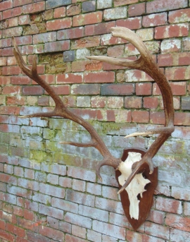 Large Pair Of Antlers