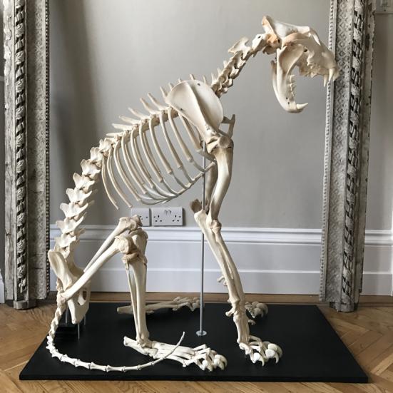 lioness-skeleton