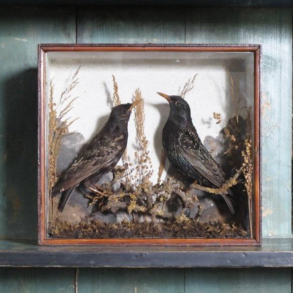 taxidermy-starlings